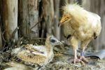 Europa financia un proyecto Life para recuperar aves rapaces de Arribes